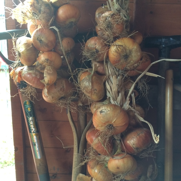 onions hanging in shed