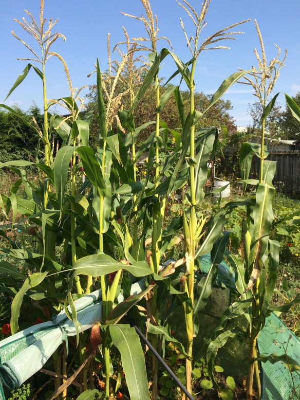 full grown sweetcorn